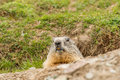 Ground Hog Marmot Day Portrait Royalty Free Stock Image - 62831456