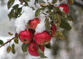 Red Apples Under The Snow Royalty Free Stock Photo - 62863235