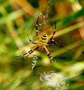 Yellow Striped Spider Royalty Free Stock Images - 6296609