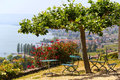 Picturesque Terrace With View On Vineyards Near Lake Geneva, Switzerland Royalty Free Stock Image - 62903236