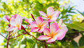 Sweet Pink Flower Plumeria Bunch And Natural Background Stock Images - 62957714