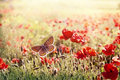 Brown Butterfly In Meadow Of Poppy Flowers Royalty Free Stock Photos - 63013698