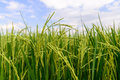 Close Up Of Green Rice Paddy In Rice Field Royalty Free Stock Photo - 63035045