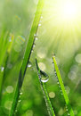 Fresh Green Grass With Dew Drops Closeup. Stock Images - 63037004