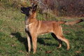 Malinois - Belgian Shepherd Dog Stock Photo - 63040960