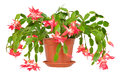 Christmas Cactus (Schlumbergera) In Pot Isolated On White Backgr Royalty Free Stock Photography - 63045627
