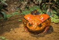 Tomato Frog, Endemic Of Madagascar Stock Photo - 63050200