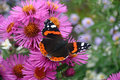 Red Admiral Butterfly Stock Photography - 63056602