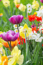 Flowerbed With Different Varieties Of Tulips Royalty Free Stock Image - 63066536