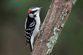 Little Woodpecker Stock Images - 63084684