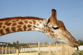 Huge Giraffe Neck And Funny Face With Tongue Stock Photo - 63149110