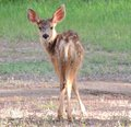 Young Mule Deer Fawn Stock Photography - 63171852