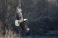 Soaring Bald Eagle Near Squamish British Columbia Royalty Free Stock Photography - 63291767