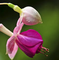 Fuchsia Flower Royalty Free Stock Image - 6339826