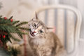 Cute Grey Cat Chew The Decorations On A Christmas Tree Royalty Free Stock Photo - 63302055