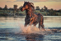 Black Horse Running In Water At Sunset Royalty Free Stock Photo - 63325905