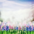Spring Nature Background With Hyacinths Blooming Plant In Garden Or Park Stock Photography - 63337902