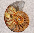Ammonite Fossil Shell Stock Image - 63371911