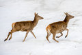 Deer Running On The Snow In Christmas Time Stock Photography - 63378922