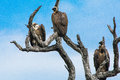 Three White-backed Vultures In A Tree Stock Images - 63393744