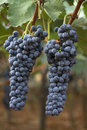 Grape Stock Images - 6345054