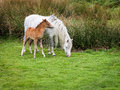 Wild Mountain Pony With Foal Stock Image - 63415641