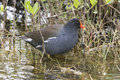Common Gallinule Wading In Shallow Water - Florida Royalty Free Stock Photography - 63429437