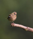 Chaffinch On Branch Stock Images - 63464254