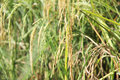 Jasmine Rice Stock Photo - 63484650