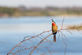 White Fronted Bee-eater On Tree Stock Photos - 63486463