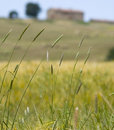 Tuscany Countryside, Spikes Stock Images - 6352694