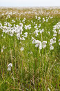 Cotton Grass Tundra Royalty Free Stock Photography - 63535977