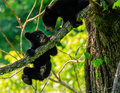BLACK BEAR CUBS Royalty Free Stock Photo - 63552125