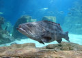 The Grouper In Istanbul Sea Life Aquarium (TurkuaZoo). Royalty Free Stock Photos - 63556398