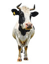 Cow Royalty Free Stock Photography - 63561987