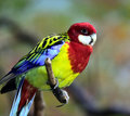 Rose-coloured Parrot Royalty Free Stock Photos - 63578468