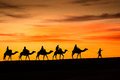Camels From Sahara Desert Stock Images - 63590824