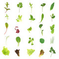 Salad Lettuce And Herb Leaves Royalty Free Stock Photo - 6363235