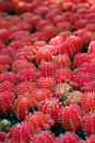 Red Cactus Stock Photography - 6367942