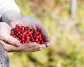 Man Picking Berries In The Woods. Royalty Free Stock Photos - 63684238