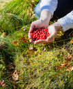 Man Picking Berries In The Woods. Royalty Free Stock Photo - 63684295