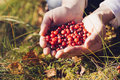 Man Picking Cranberries In The Woods. Stock Photography - 63684302