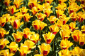Yellow With Red Tulips In Keukenhof Park, Flower Garden, Holland Stock Images - 63699384