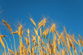 Ears Of Wheat Against Background Of Sky Stock Photography - 6373502