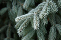 Coniferous Branches Covered With Hoarfrost. Royalty Free Stock Images - 63700389