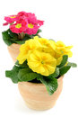 Two Pink Yellow Potted Primula (primrose) On White Isolated Back Stock Image - 63733051