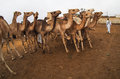 Camels For Sale In Market In Cairo, Egypt Royalty Free Stock Image - 63738226
