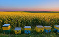 Bee Hives In Canola Stock Images - 63751724