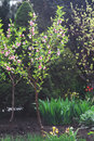Young Peach Blossom Tree In A Beautiful Spring Garden Royalty Free Stock Photos - 63772008
