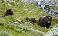 Muskoxen In Countryside Stock Image - 6388011
